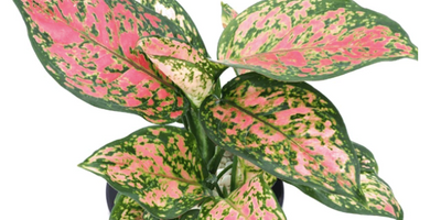 Aglaonema Wishes