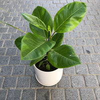 Ficus Yellow Gem