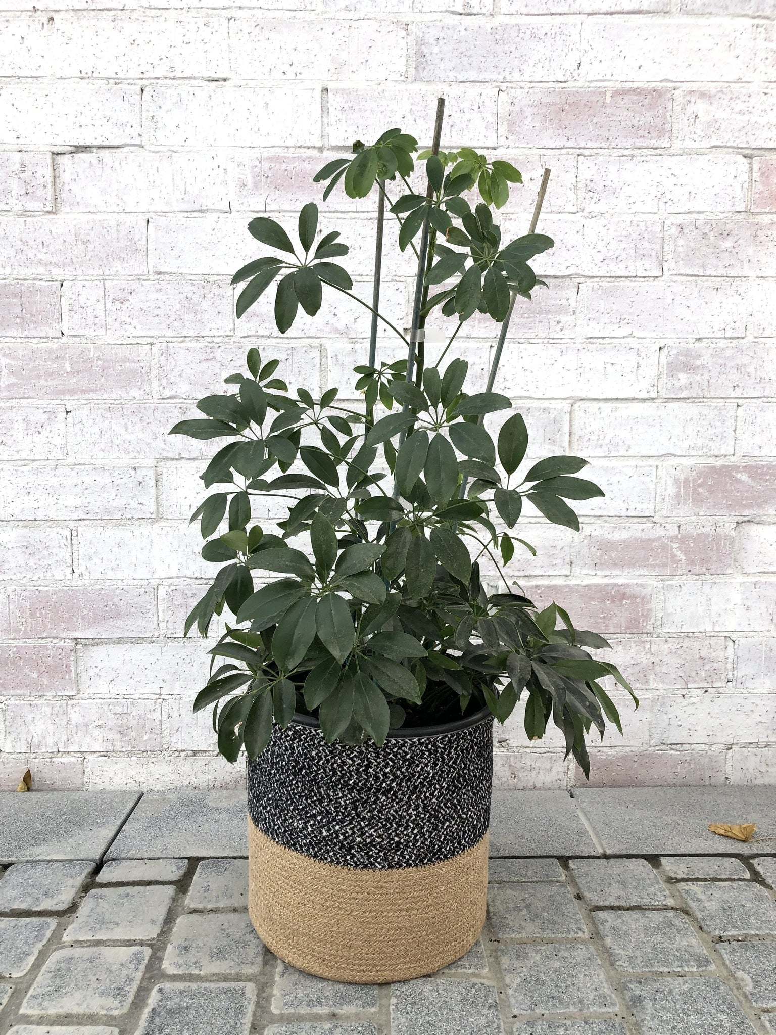 Schefflera || Dwarf Umbrella Tree