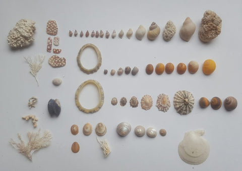 Shell finds from Marwick beach