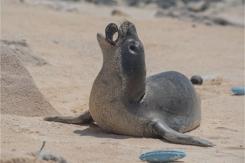 The Ocean Cleanup Image of a Monk Seal with plastic in his mouth by Matthew Chauvin