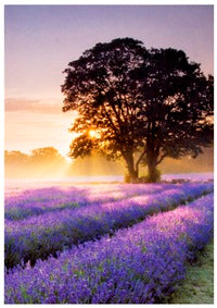 Dreamy Lavender - The Alresford Gift Shop