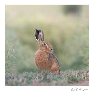 Watching in the rapeseed ( a hare) - greeting card
