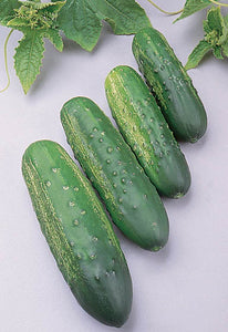 Cucumber Seed, Calypso