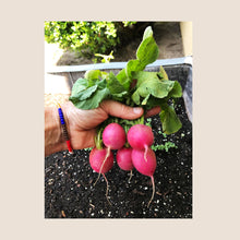 Load image into Gallery viewer, Pink Round Radish Seed