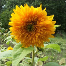 Load image into Gallery viewer, Sungold Tall  Sunflower Seed