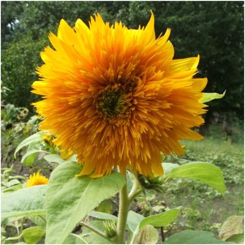 SungoldTall  Sunflower