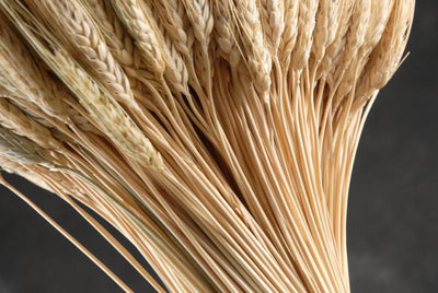 wheat triticum stack 20in