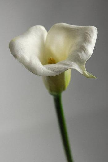 real touch calla lily in white 27