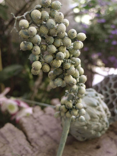 Dried Canella Berries Branch Grey