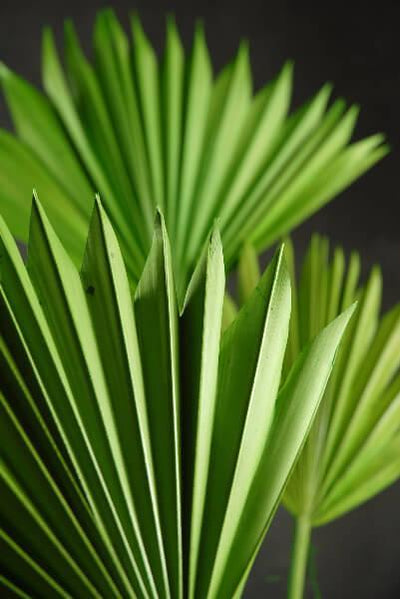 Natural Palm Leaf Fans Green Pack of 5