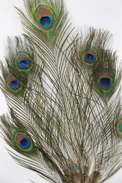 7 Peacock Feathers on Wired Stem 36in
