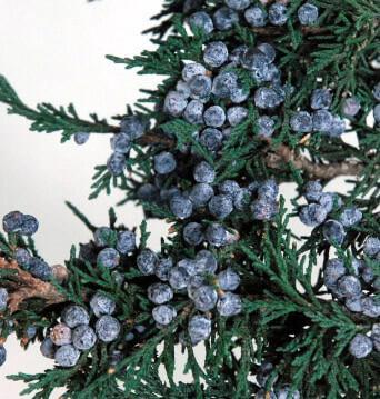 preserved juniper branch with berries 20in