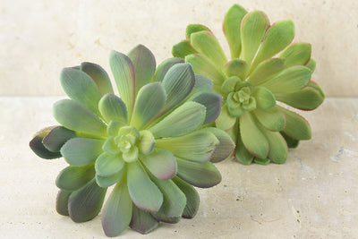 large bright green echeveria stem succulent 9 wide