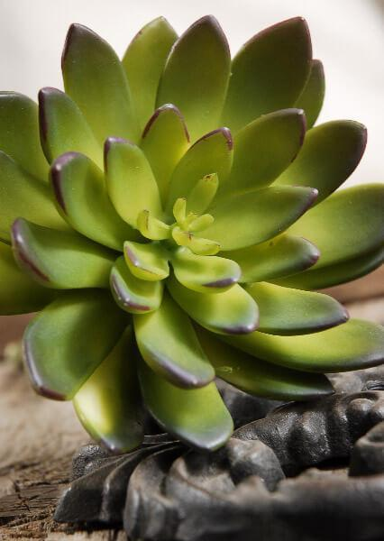 Succulent Echeveria Green & Burgundy 8.5in Natural Touch