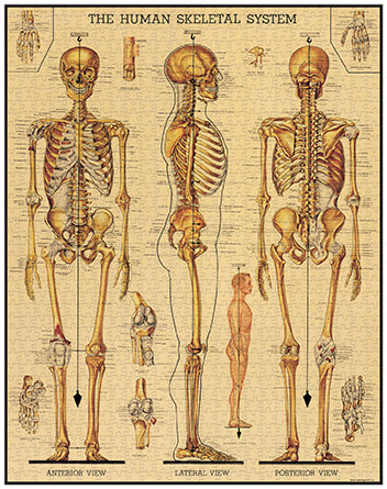 Back in stock, early December-Vintage Jigsaw Puzzle: Skeletal System