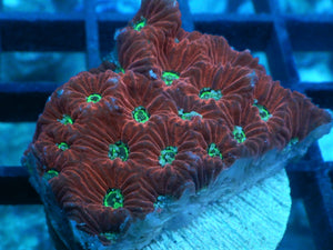 Red-Green Eye War Coral