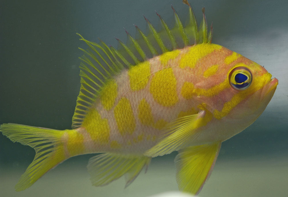 Holanthias Barbonius - Barbonius Anthias