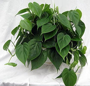 Heart Leaf Philodendron Plant