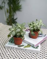 Load image into Gallery viewer, Fittonia Green