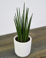 Load image into Gallery viewer, Sansevieria Bacularis (S)