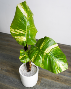 Pothos Golden Giant