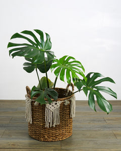 European Monstera Deliciosa