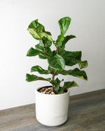 Load image into Gallery viewer, Fiddle Leaf Fig Tree (XL)