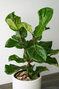 Fiddle Leaf Fig Tree (M)