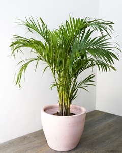 Areca/Butterfly Palm (M)