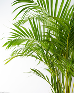 Load image into Gallery viewer, Areca/Butterfly Palm (M)