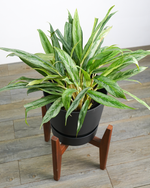 Load image into Gallery viewer, Aglaonema Cutlass (L)