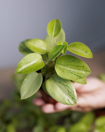 Load image into Gallery viewer, Peperomia 'Pixie' Variegated