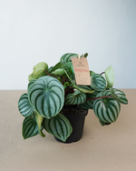 Load image into Gallery viewer, Peperomia Watermelon (L)