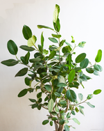 Load image into Gallery viewer, Ficus Audrey - XL (Actual)