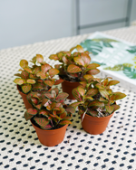 Load image into Gallery viewer, Fittonia Red