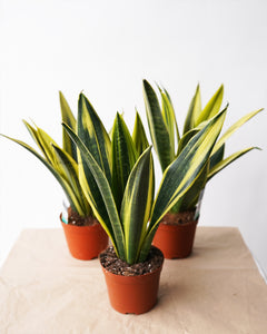 Sansevieria 'Golden Flame'