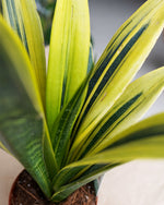Load image into Gallery viewer, Sansevieria 'Golden Flame'