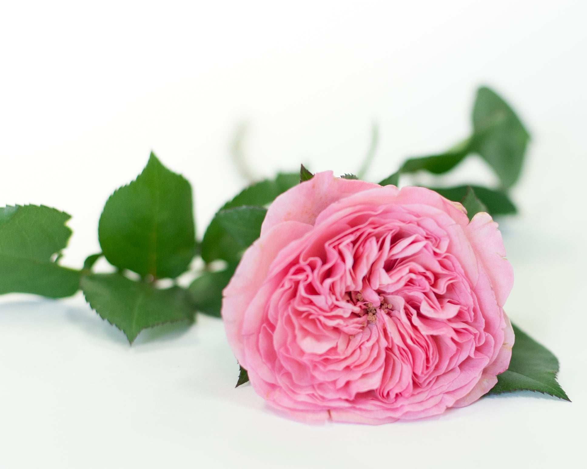 Valentine's Day flowers Toronto Periwinkle rosedale midtown leaside delivery