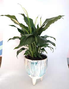 Peace Lily in watercolour pot