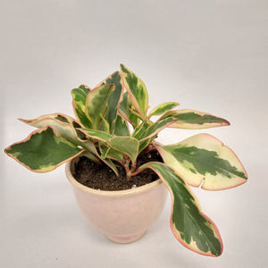 Peperomia varigated- small