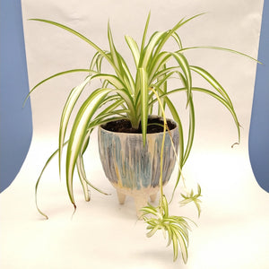 Spider Plant in watercolour pot