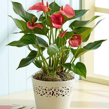 Anthurium / Flamant rose / Langue de feu / Petit anthurium