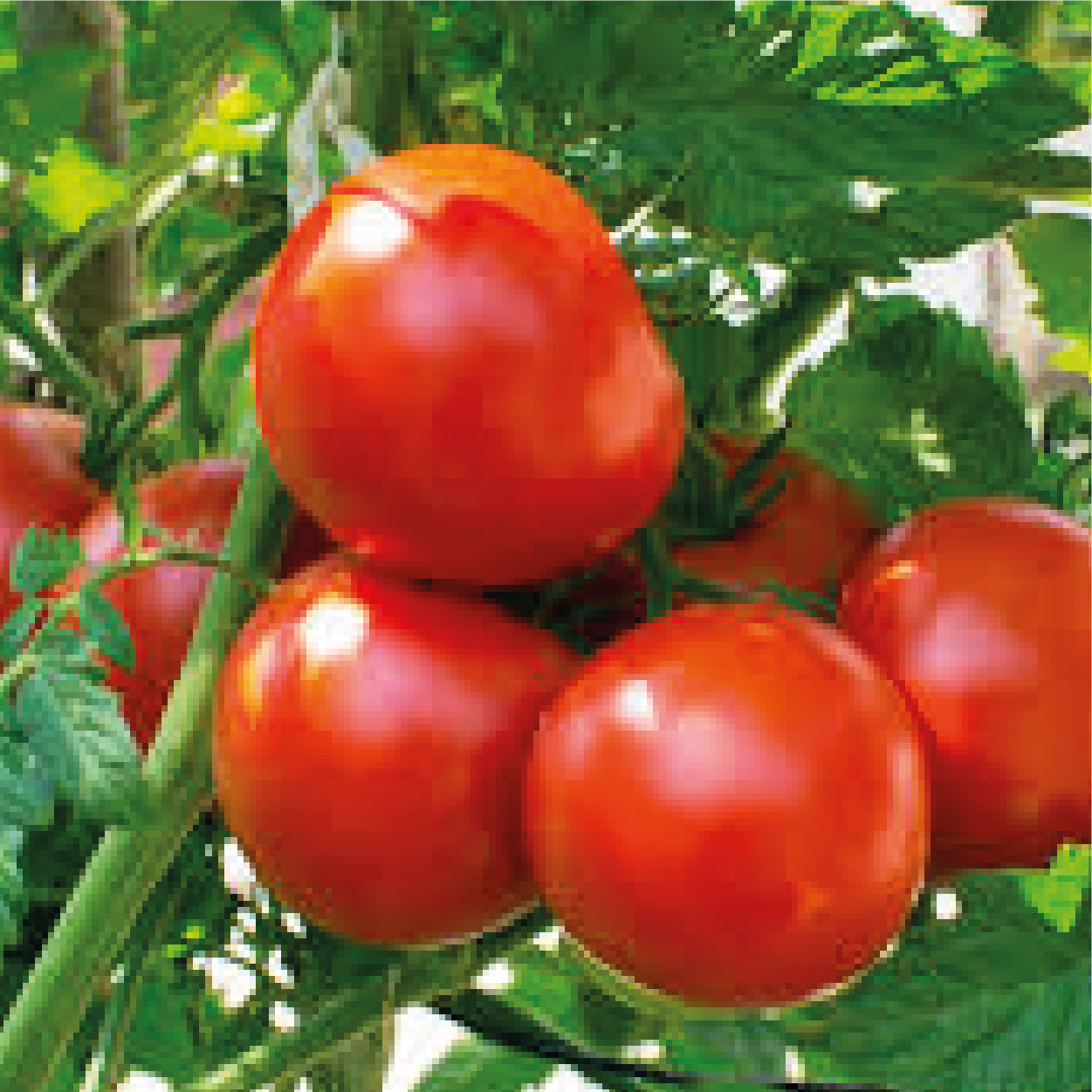 Tomatoes on the vine - Cherries & Carrot Tops