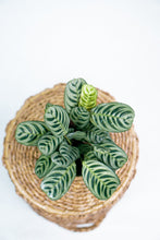 Load image into Gallery viewer, 6'' Calathea Burle Marx