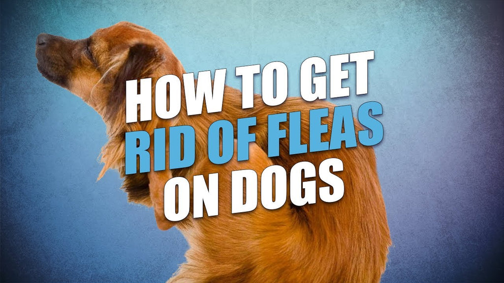 Best solutions to get rid of fleas on dogs