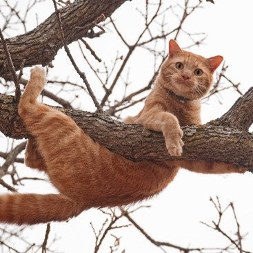 A cat handing out in a tree for Silver Honey wound care from Absorbinepet