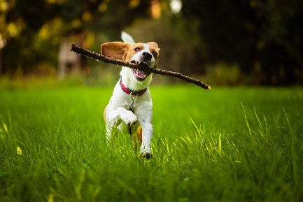 A dog running in field for Silver Honey wound care from Absorbinepet