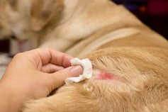 A dog with a hot spot on his hind leg treated with Silver Honey wound care from Absorbinepet