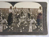 Stereoview Black Americans Gathering Cotton